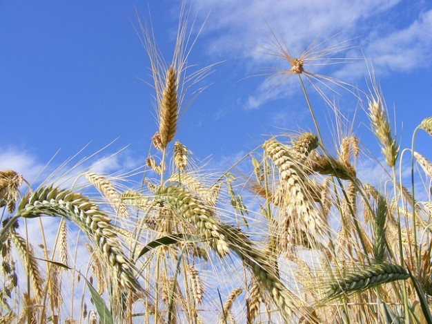 ear-agriculture-close-up-bread-cereals-grain_121-88494