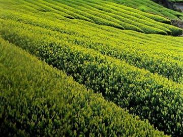 ベトナム×お茶/法人【0846】-2