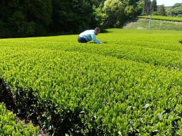 株式会社丸共掛川製茶-4
