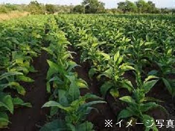 きゃん葉たばこ農園-1