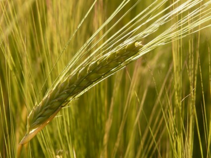 barley_field_barley_cereal_220417