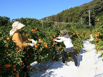 原田柑橘園-3