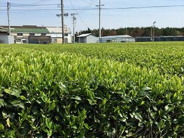 久保田製茶-3