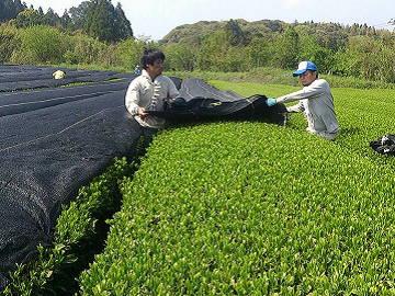 株式会社東八重製茶-3