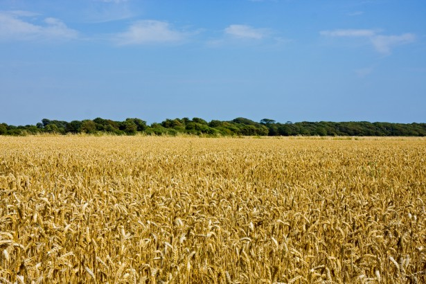 wheat-field-landscape-1377287513q6K