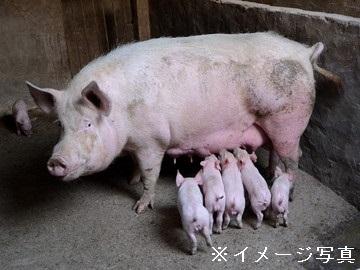 羽後町×養豚/法人【32285】-1
