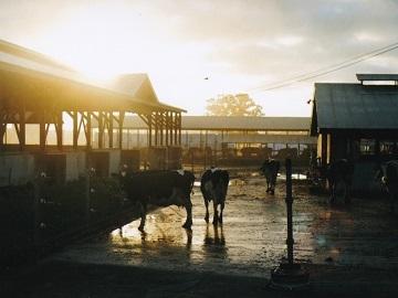 有限会社新村牧場-6