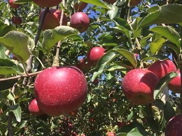 豊田りんご園-1