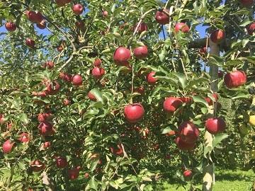 豊田りんご園-2
