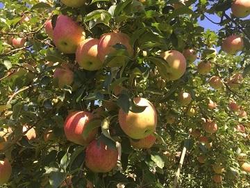 豊田りんご園-3