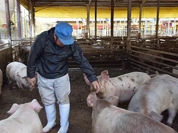 Kikuchi豚牧場-1