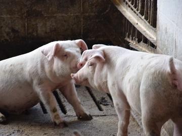 Kikuchi豚牧場-5