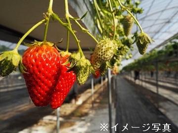 生井いちご園-2