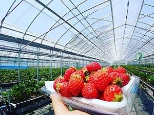 いちご農園 ミライバナ-top
