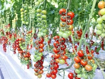 株式会社井出トマト農園-5