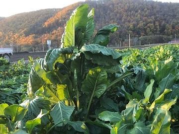 北見市×野菜/法人【33125】-6