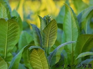 玉城葉たばこ農園-3