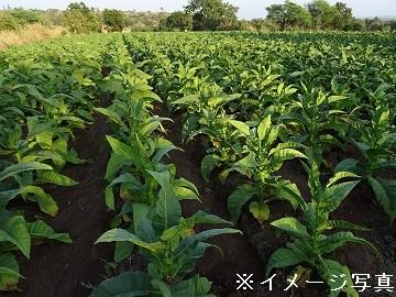 玉城葉たばこ農園-4