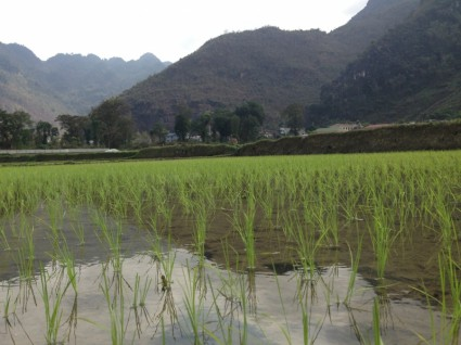 vietnam_rice_field_235914