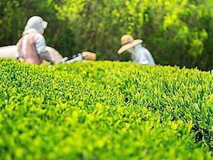 鹿児島県南九州市×お茶/法人【34504】-top