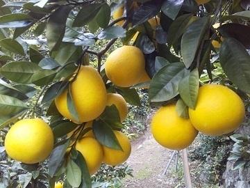 株式会社こうの果樹園