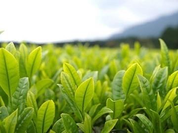 伏拝製茶-4