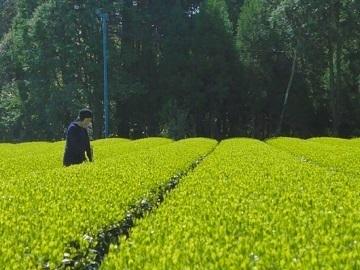 鹿児島県志布志市×お茶・野菜/法人【35356】-1