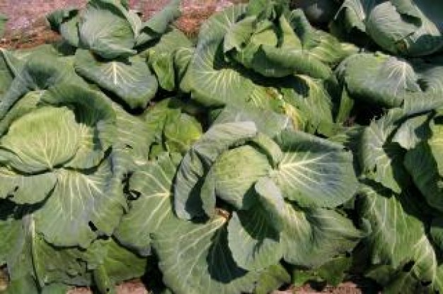 cabbage-patch_19-107016