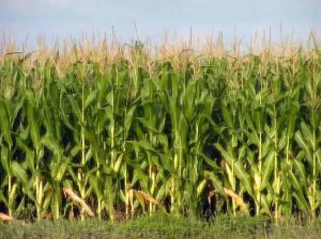 corn-2_2165328