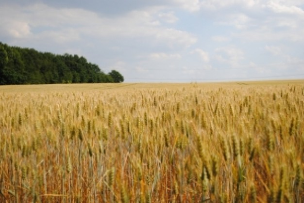 barley_21290091
