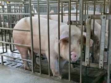 新留養豚-4